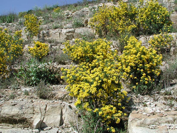 coronilla_glauca_-_Vilmorin_-_Scorpion_Vetch